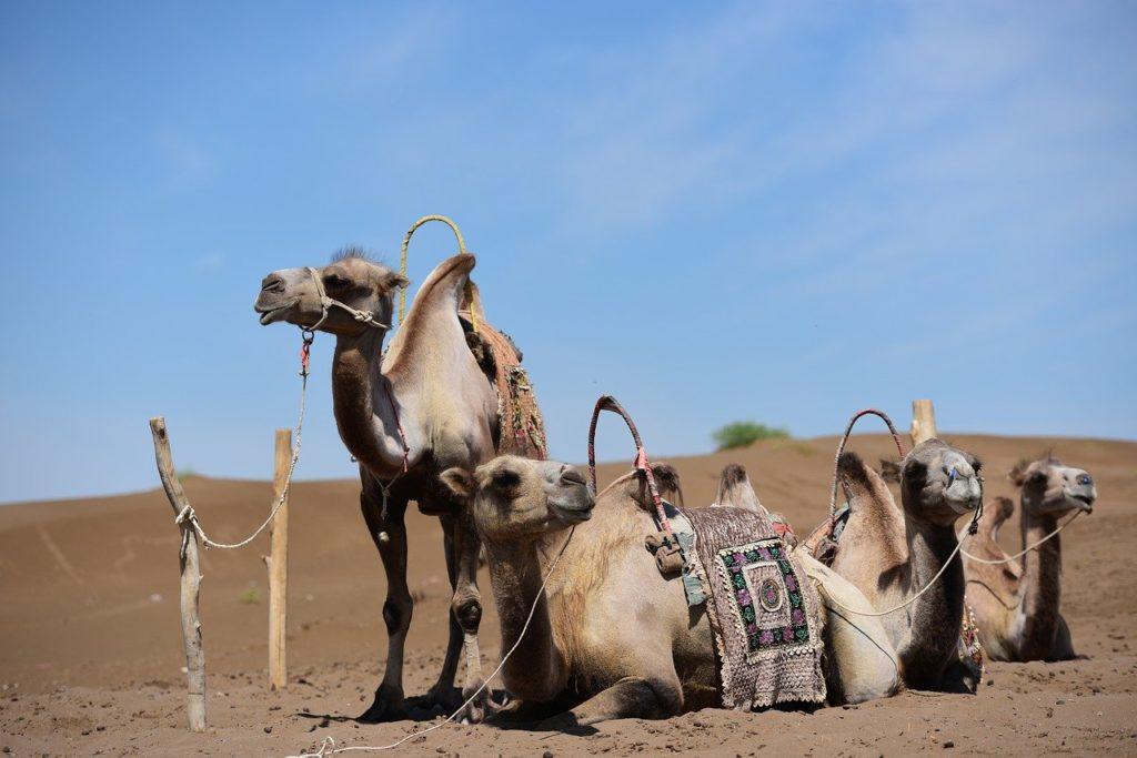 chameaux-xinjiang